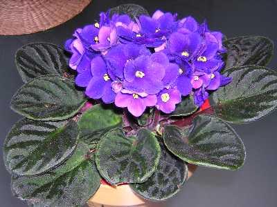 ¿Cómo reproducir violetas africanas? 1