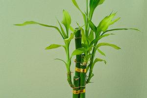 Cómo reproducir bambú de la suerte 4
