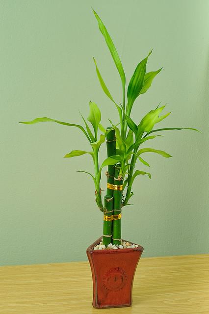 Lo más básico sobre el Bambú de la suerte 1