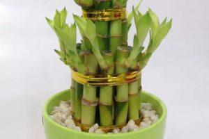 bambu de la suerte lucky bamboo en maceta