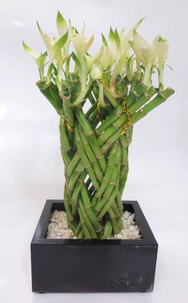 bambu de la suerte lucky bamboo trenzado