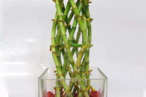 bambu de la suerte lucky bamboo trenzas