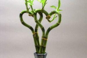 bambu de la suerte con forma de corazon