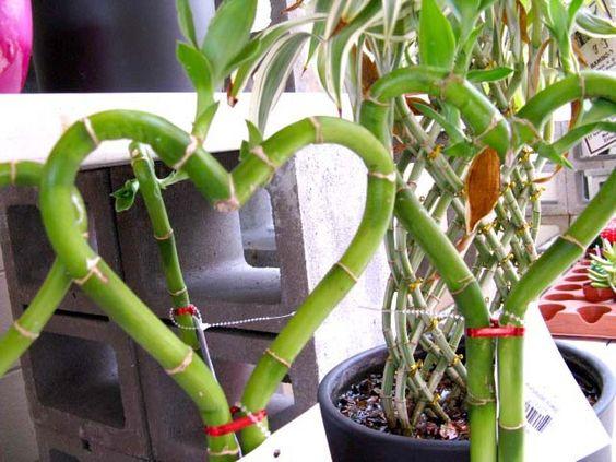 bambu de la suerte forma corazon