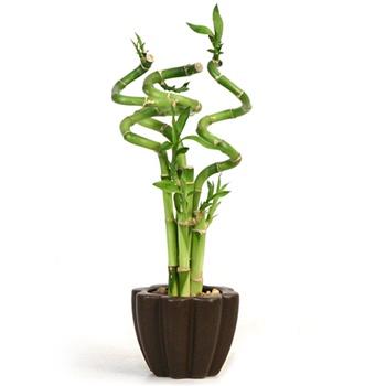 ¿Cómo dar forma de espiral al bambú de la suerte? 1