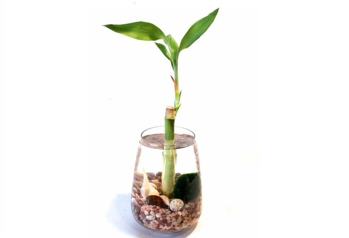 cuidados bambu agua