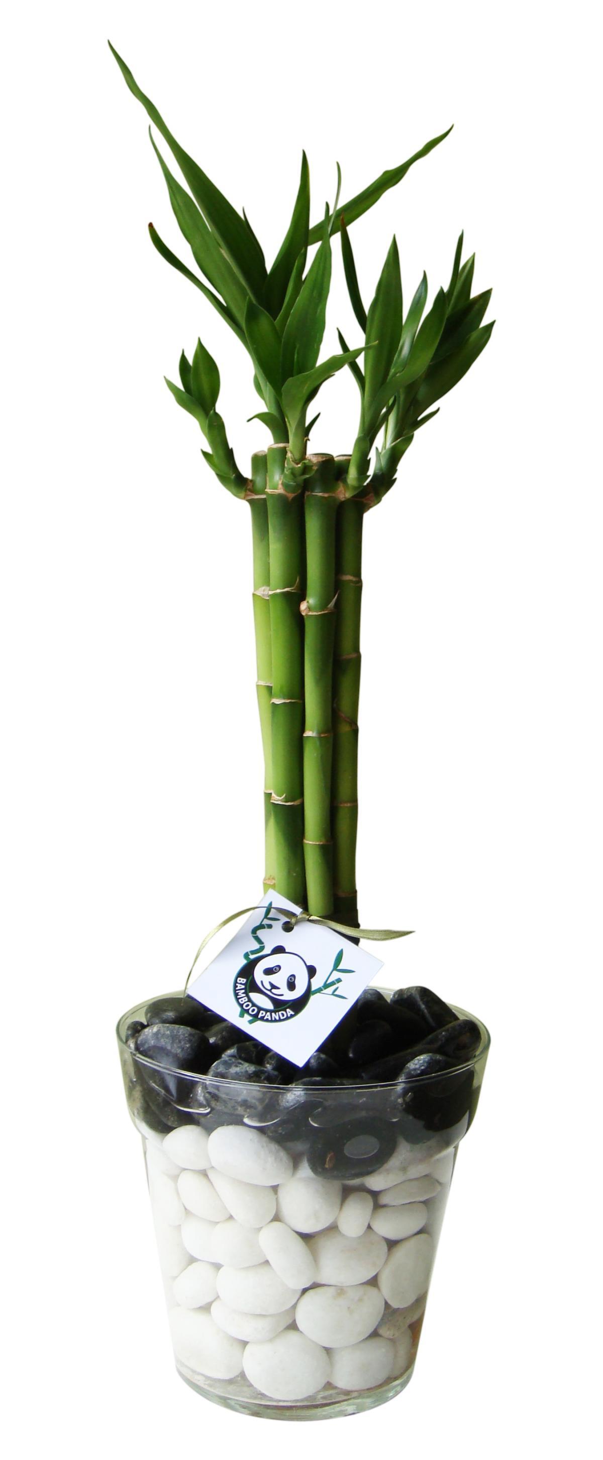 foto bambu suerte plantado