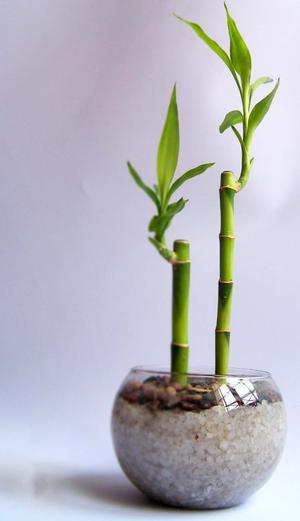 imagen de bambu de la suerte