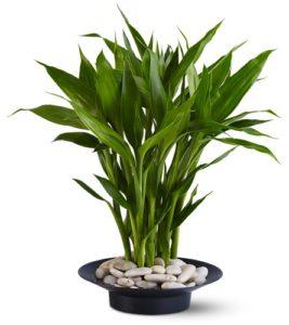 luckybamboo-teleflora