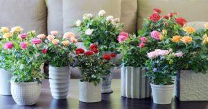 Consejos para trasplantar tus rosales