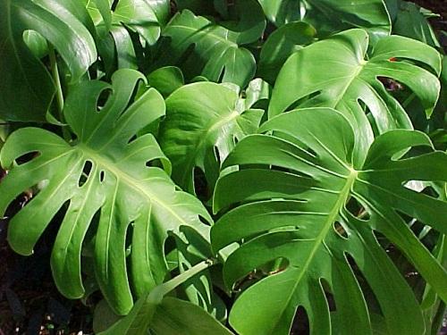 Cuidado 4 plantas venenosas que puedes tener en tu hogar for Planta filodendro