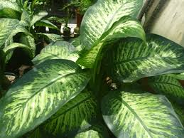 planta difenbaquia