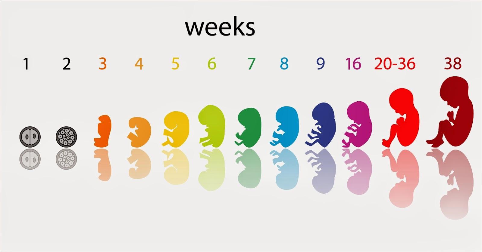semanas embarazo