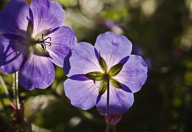flor de geranio