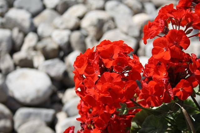 geranio planta