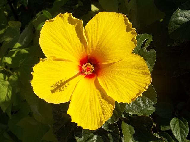 Flor amarilla de hibsico