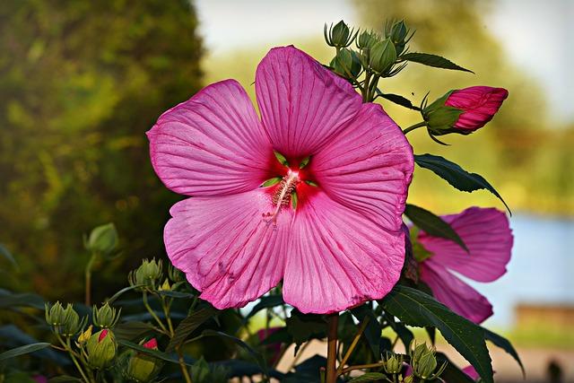 Flor violeta de Hibsicus