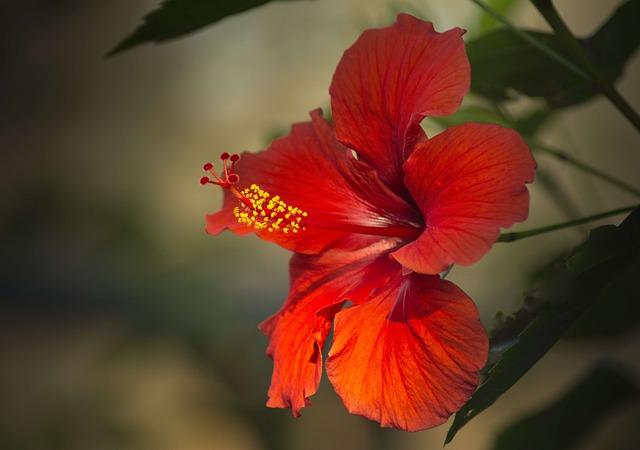 Flor roja de hibsico