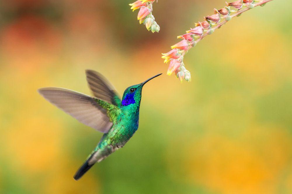 colibri ave exótica