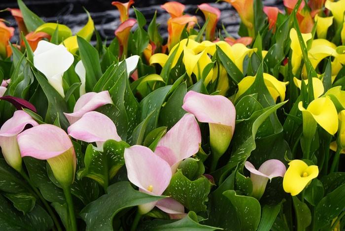 jardín calas blancas y amarillas
