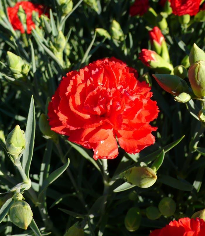 clavel comun rojo