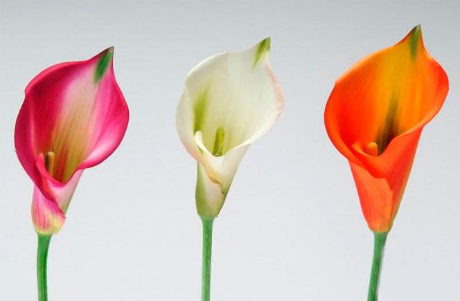 calas flores blanca