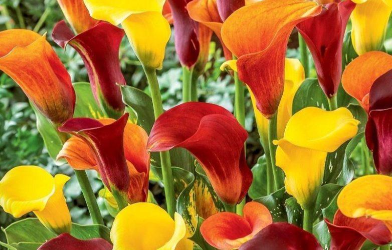 calas flores amarillas