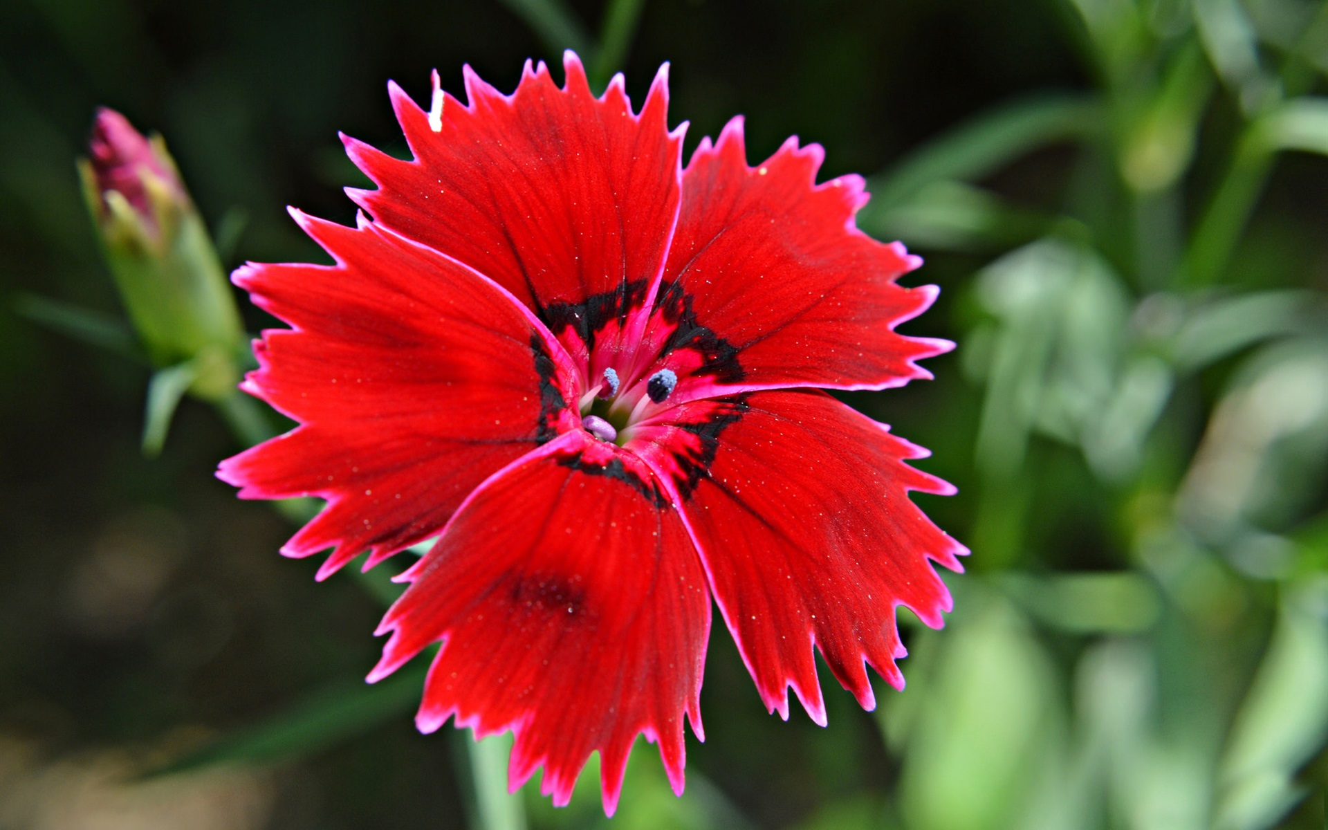 clavel turco rojo