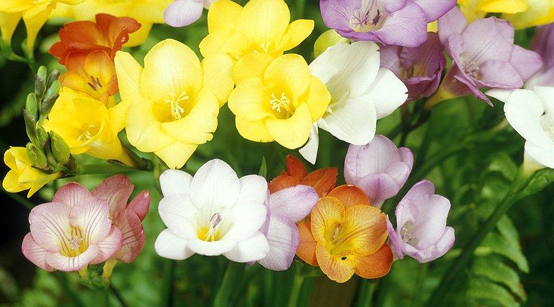 flores fresias coloridas
