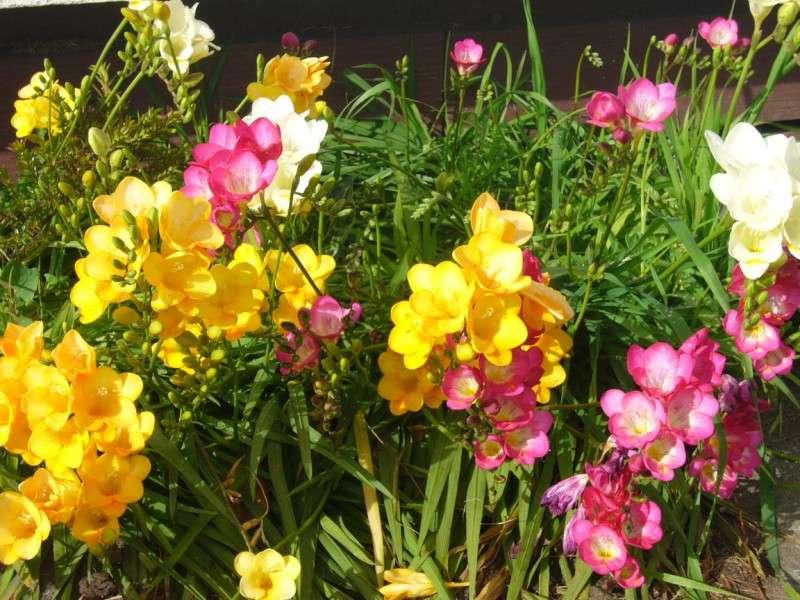 fresias jardin amarillas