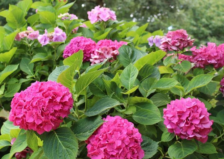 hydrangeas rosas