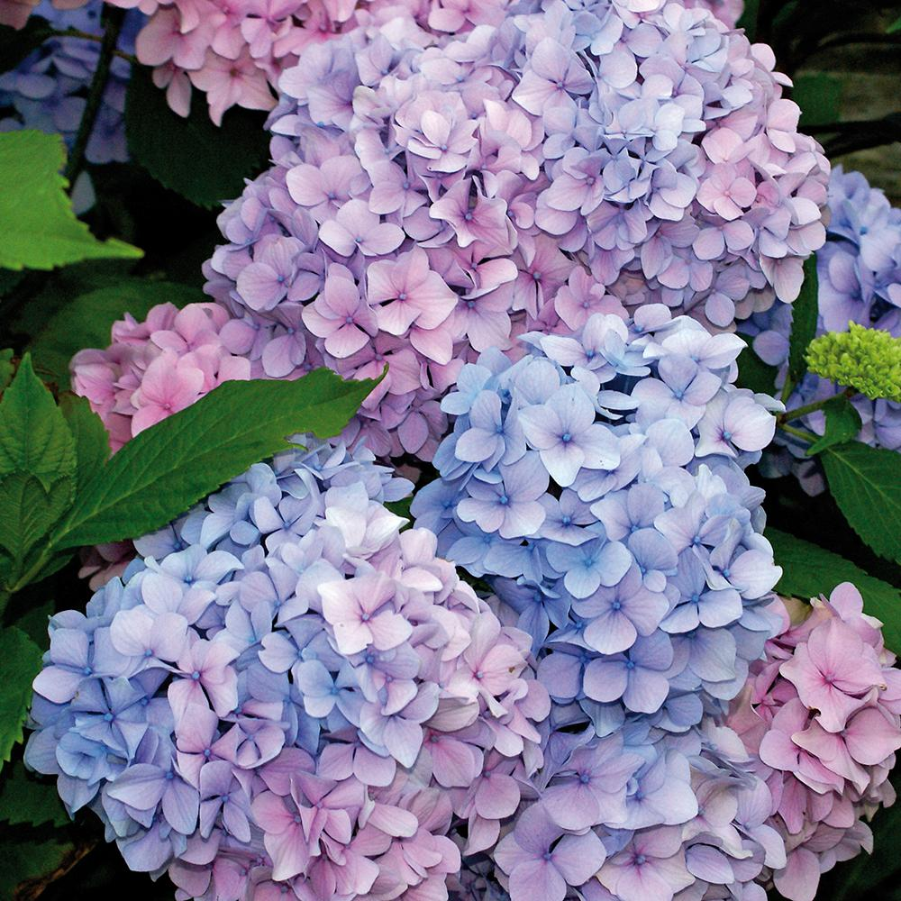 hydrangeas flores
