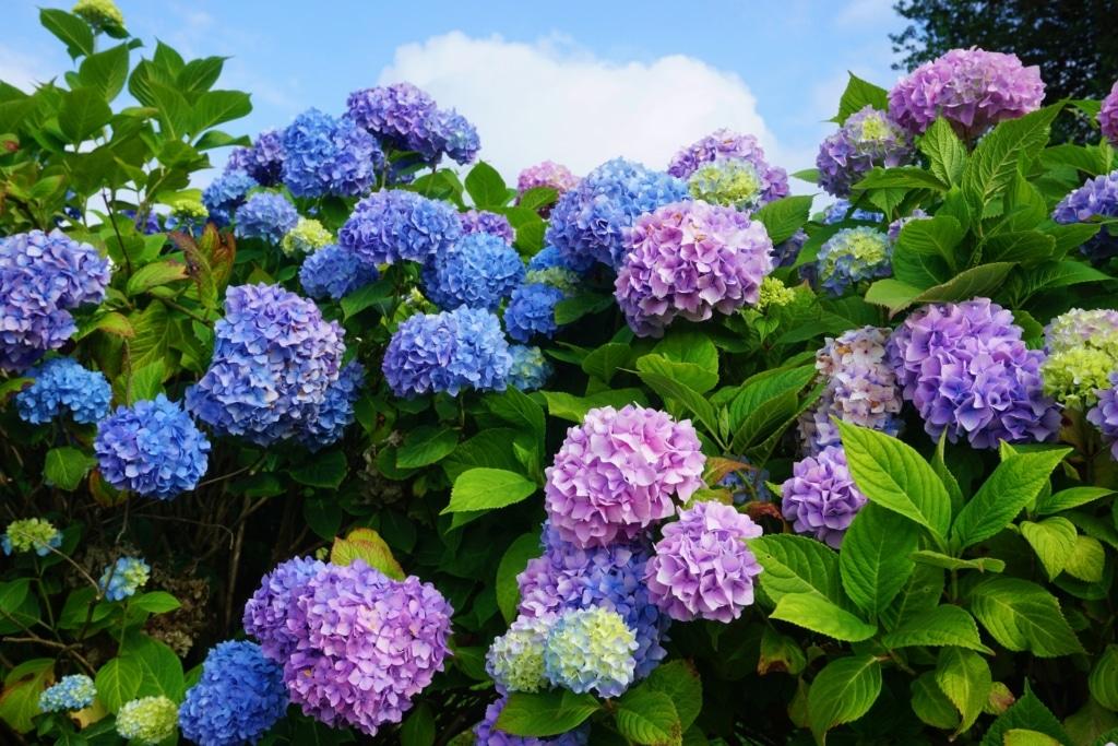 jardin flores hydrangeas