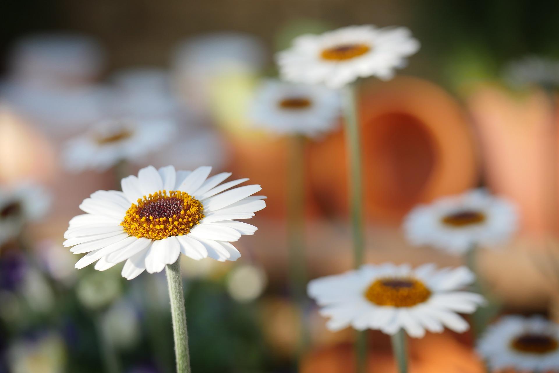 margaritas flores
