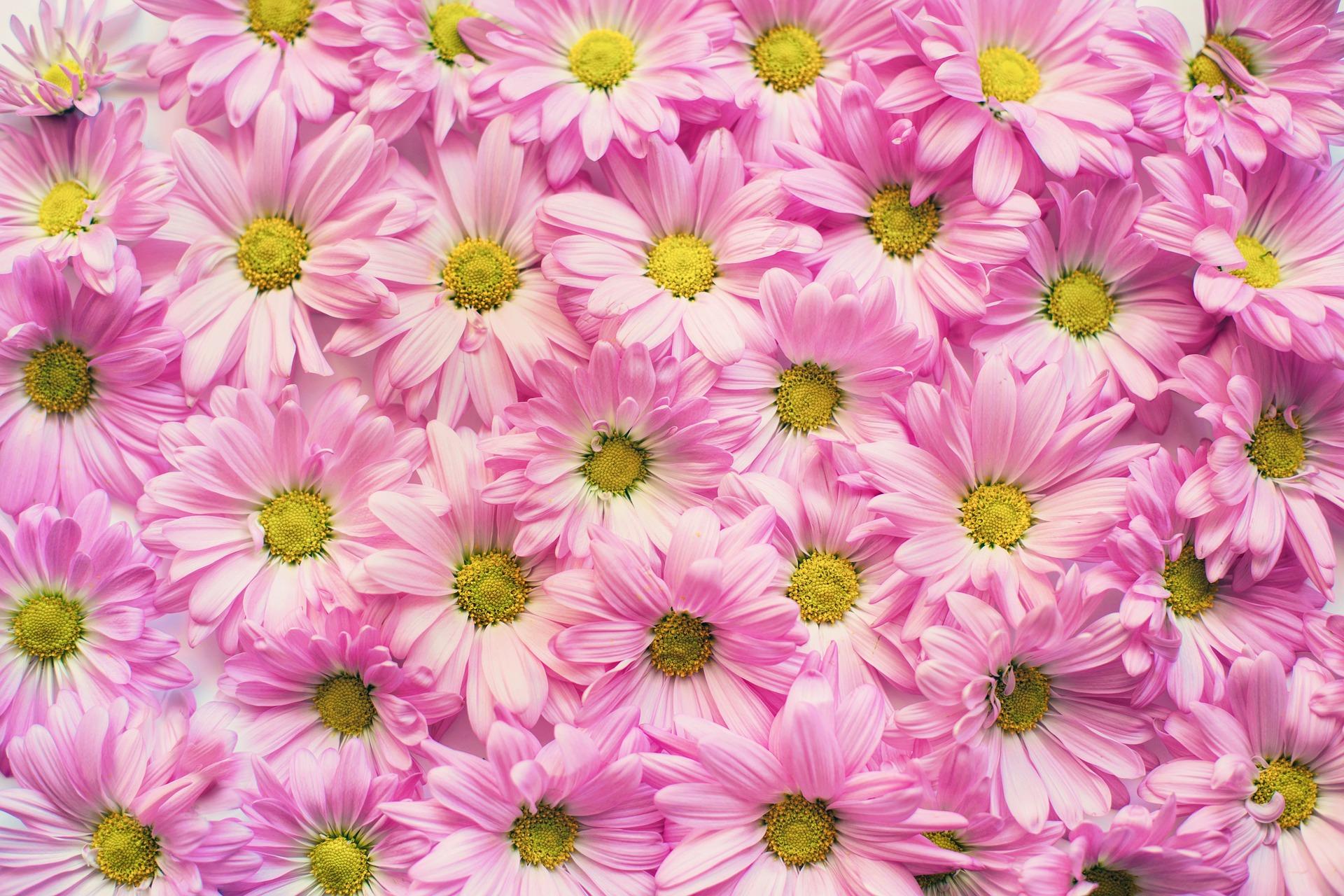 margaritas rosadas flores