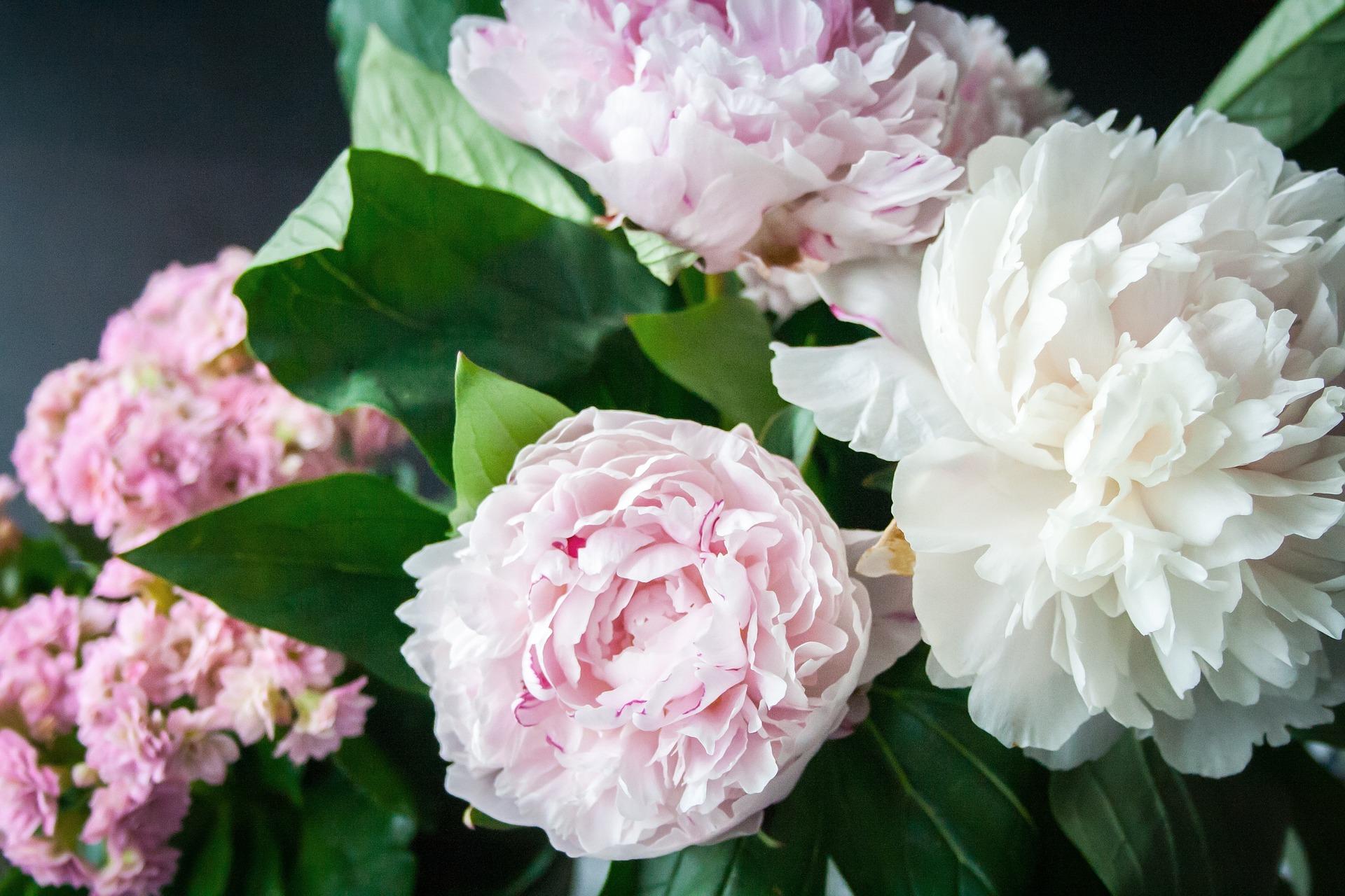 flores arbusto peonias