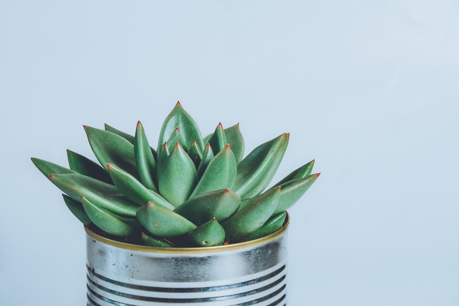 planta suculenta en maceta