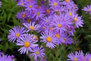 aster flores jardin exterior