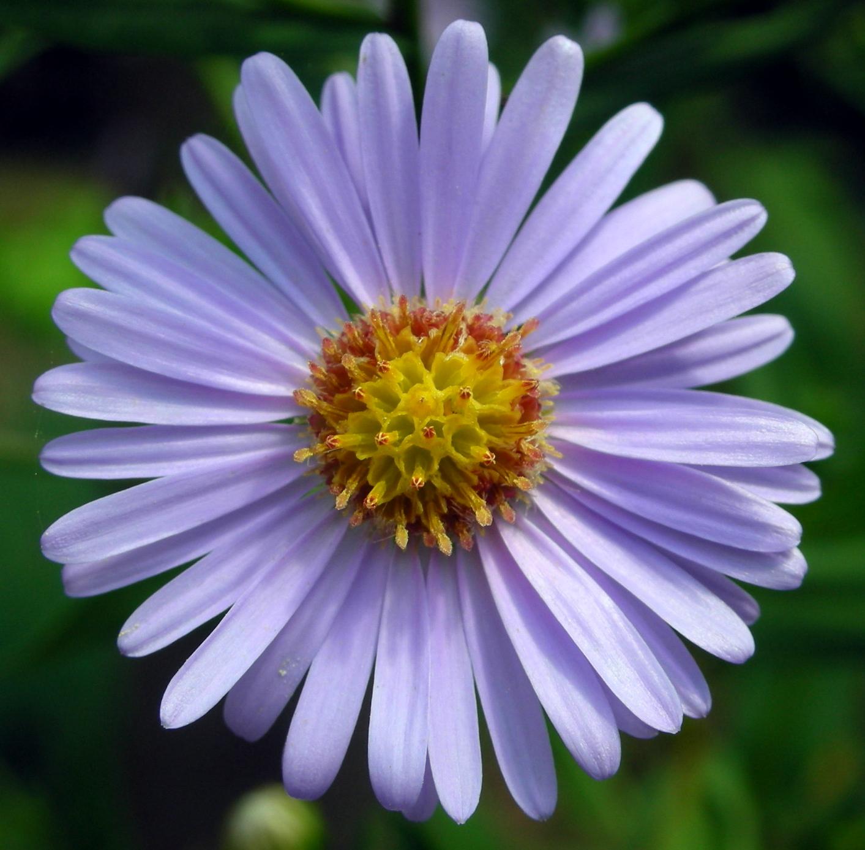aster flor cerca