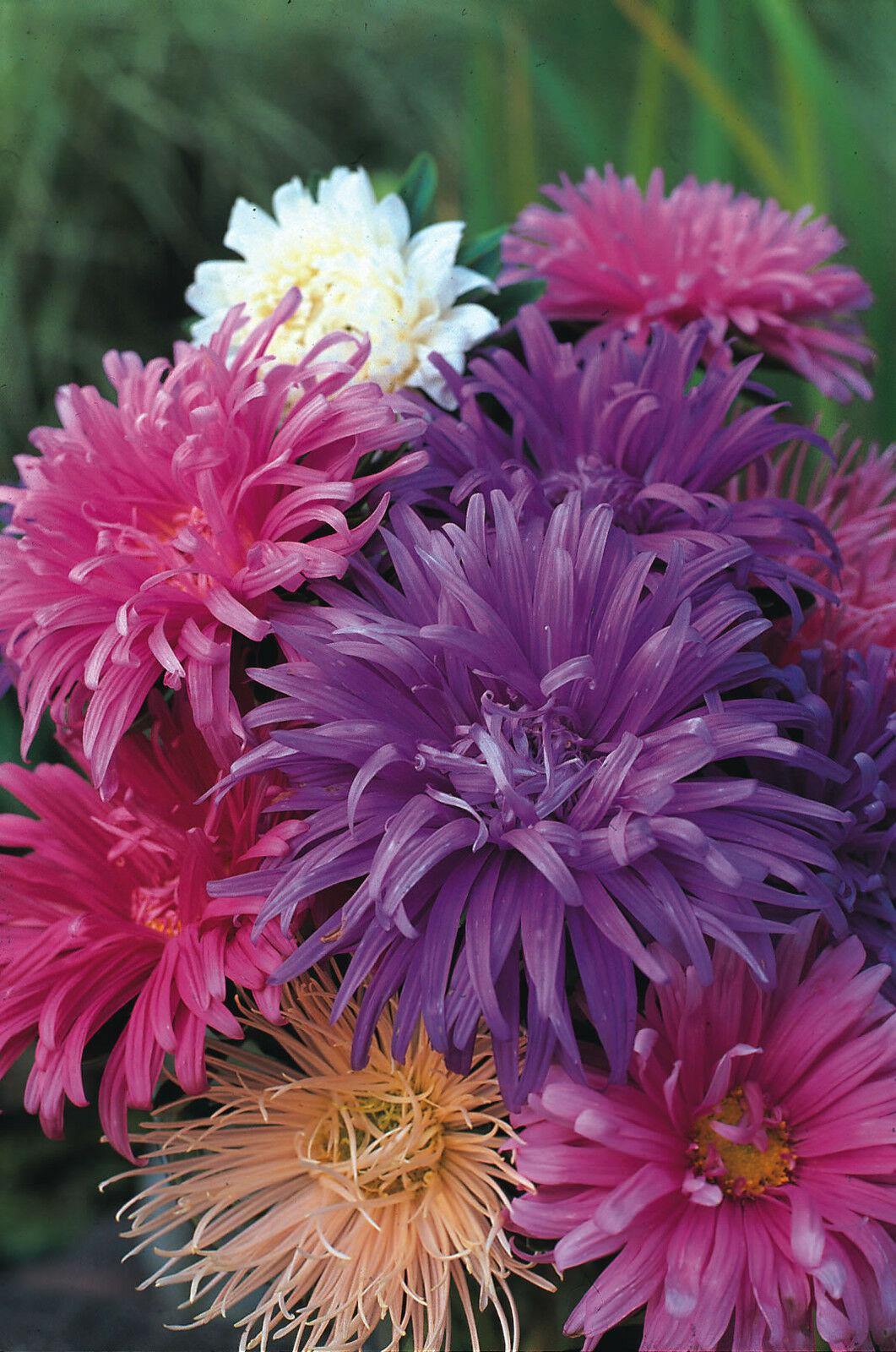 aster avestruz flores
