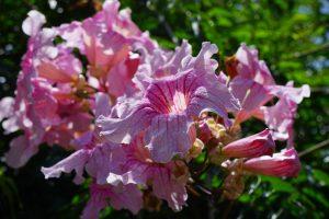 bignonia flores rosas