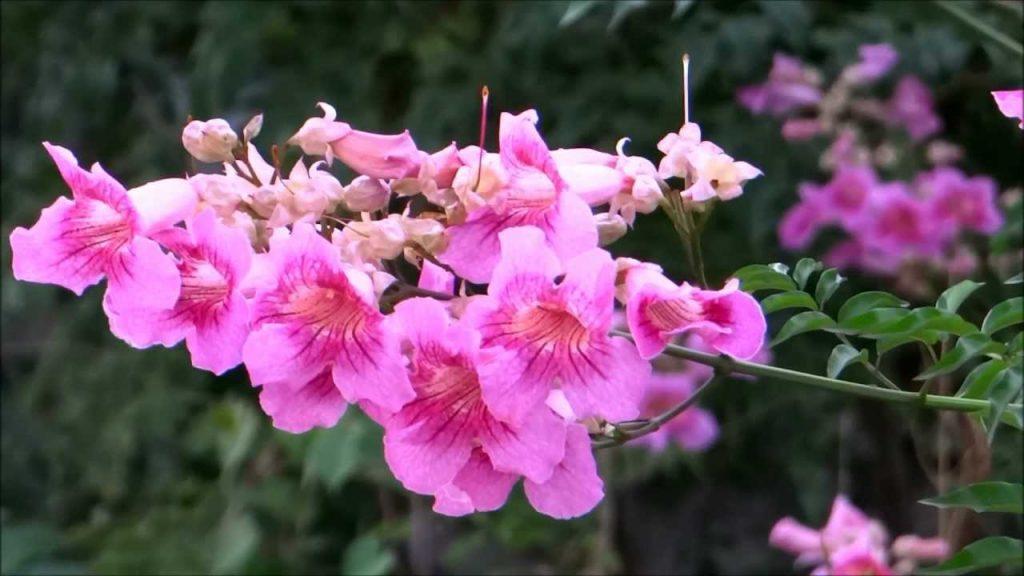 enredadera bignonia flor