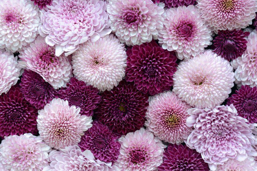 crisantemos lilas morados