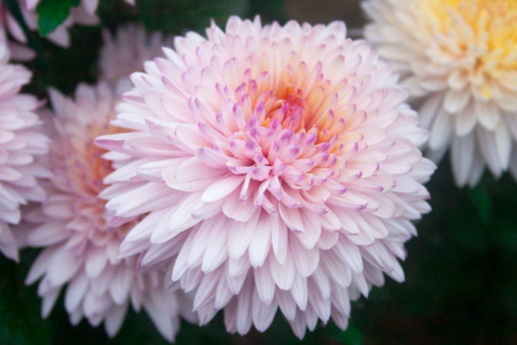 crisantemos flor rosada