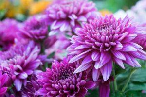 flores crisantemos morada