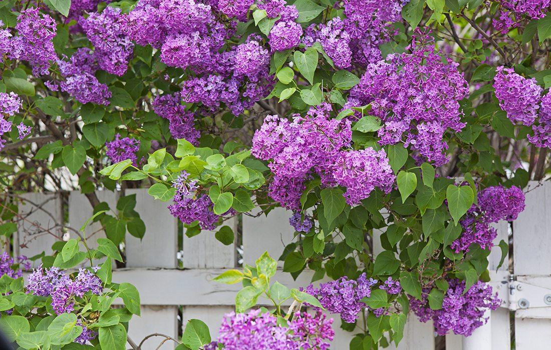 arbusto de lilas