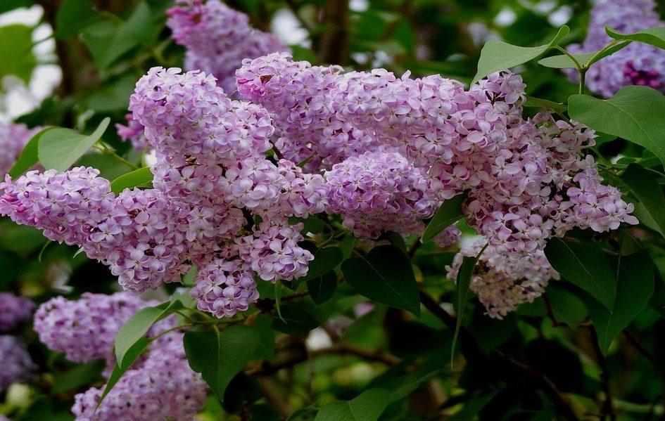 flores lilas arbusto