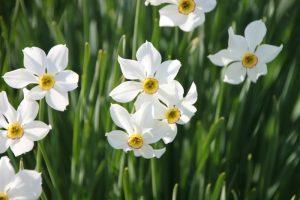 flores narcisos exterior jardin