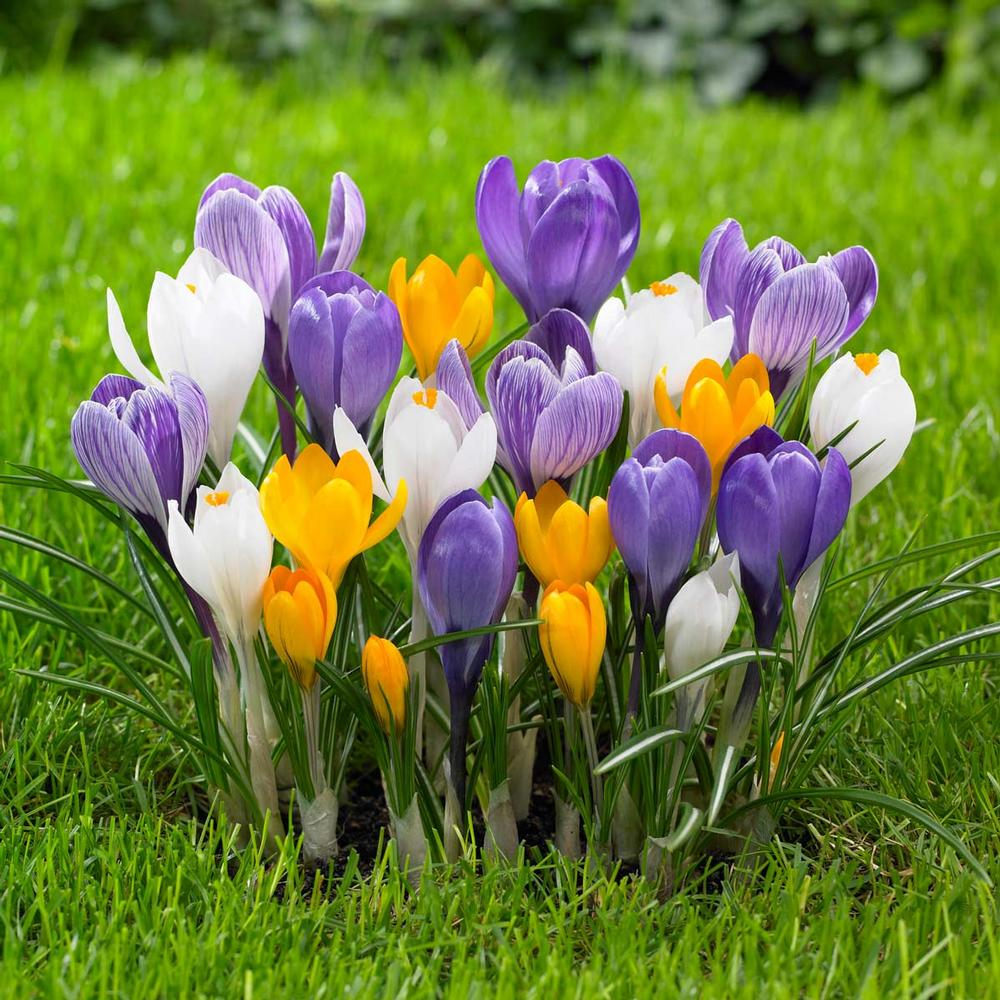 crocus colores amarillo blanco jardin
