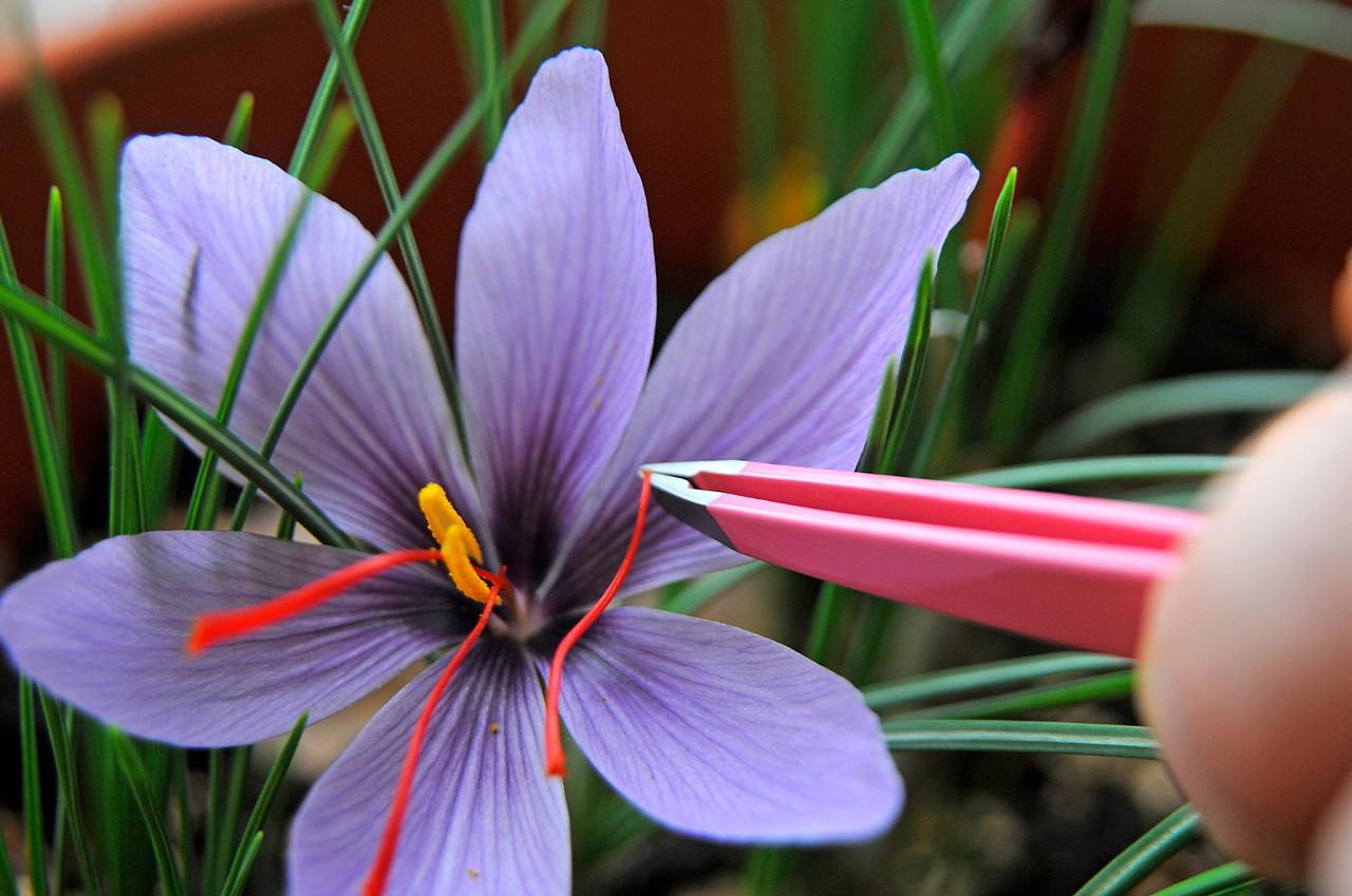 cuidado flor crocus
